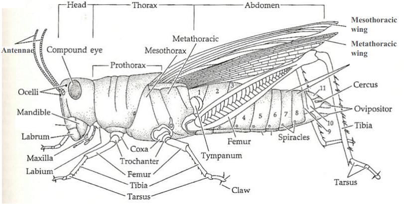 Anatomy of a Cricket