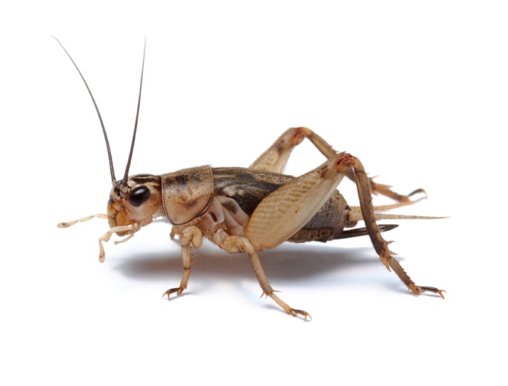 What Are Crickets