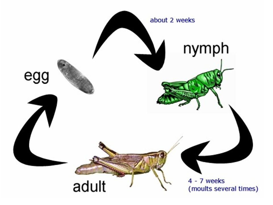 Cricket Life cycle