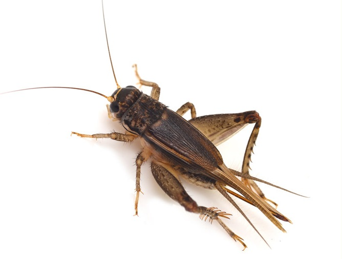 Acheta Domesticus or the House Cricket