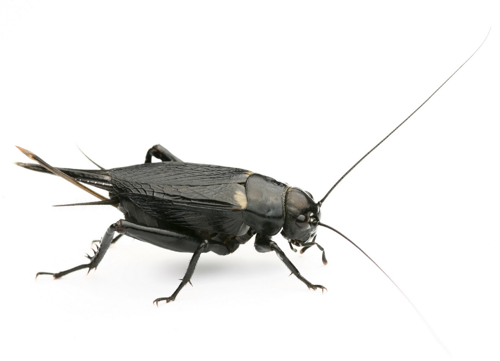 Cricket Insect - CricketInsect.com