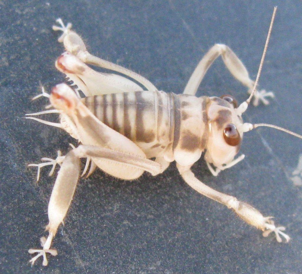 Racket footed cricket (Dune Cricket)
