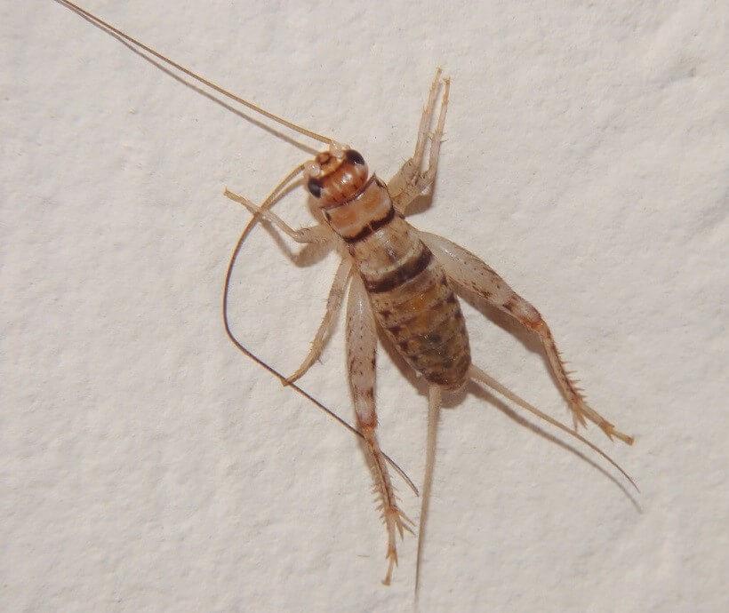 Gryllodes sigillatus or Tropical House Cricket or Banded Cricket