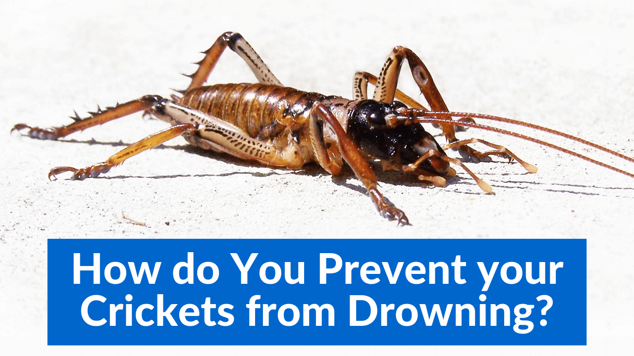 How do You Prevent your Crickets from Drowning