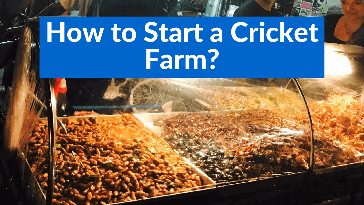 How to Start a Cricket Farm