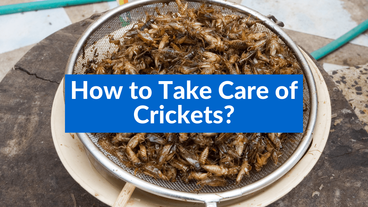 How to Take Care of Crickets, Maintenance, Cleaning and Feeding