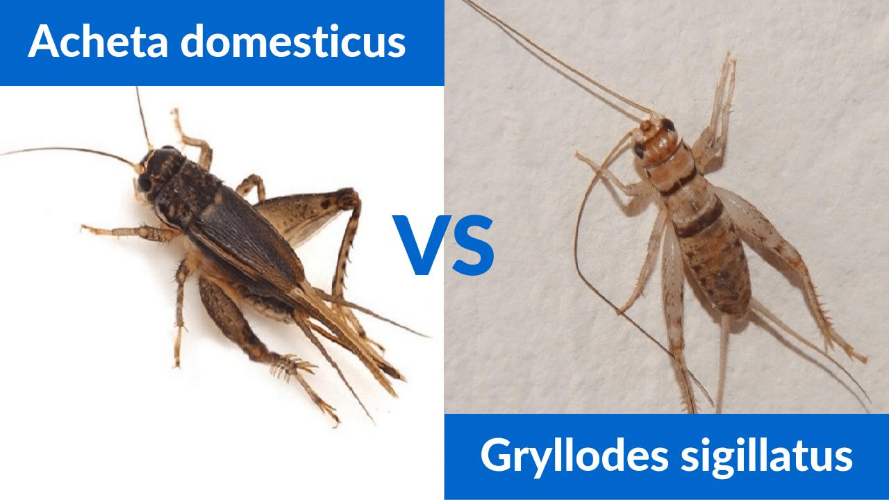 Starter Crickets Acheta domesticus vs Gryllodes sigillatus