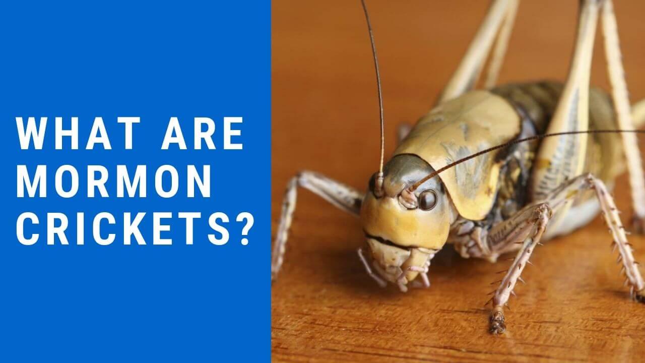 What Are Mormon Crickets Mormon Crickets Infestation
