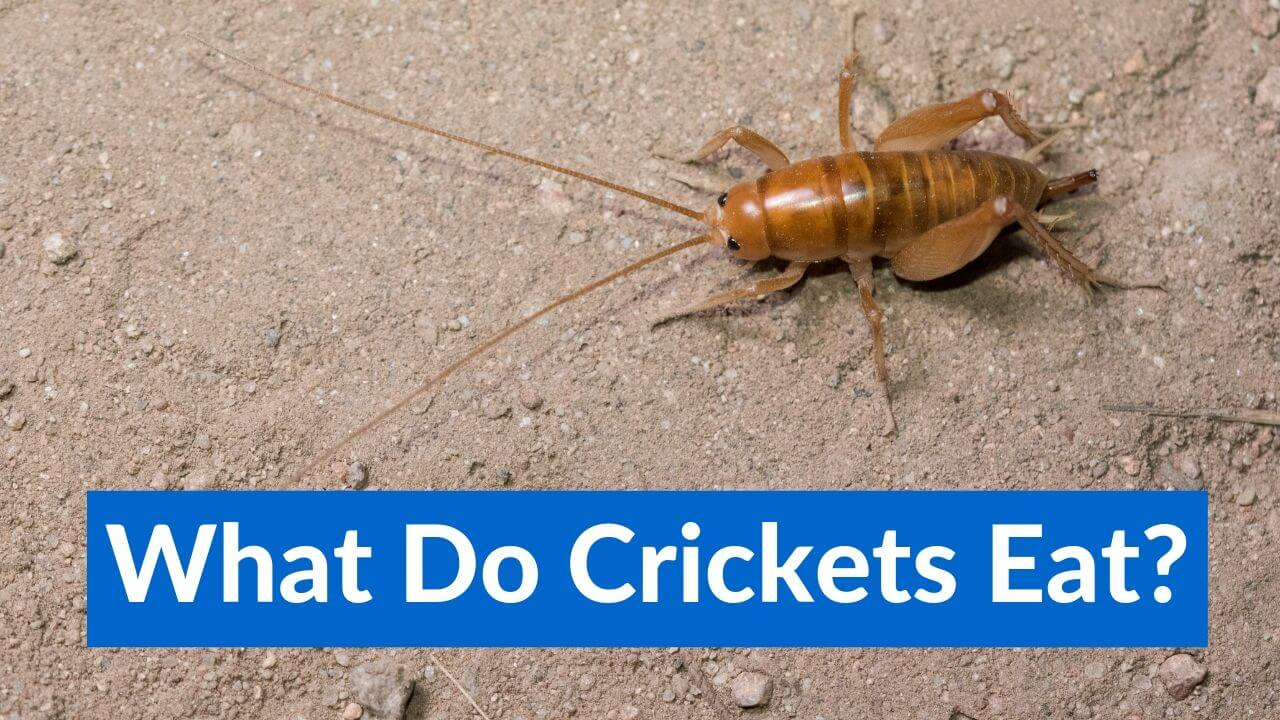 What Do Crickets Eat What To Feed Your Pet Crickets
