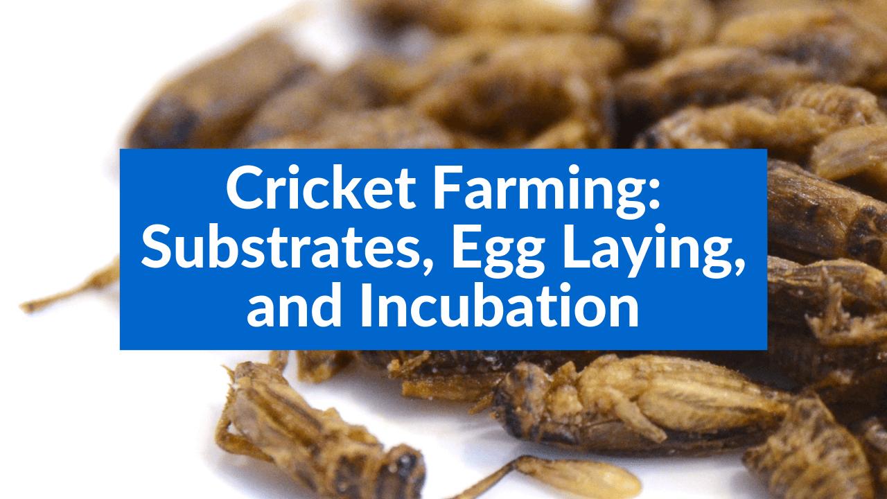 Cricket Farming, Substrates, Egg Laying, and Incubation
