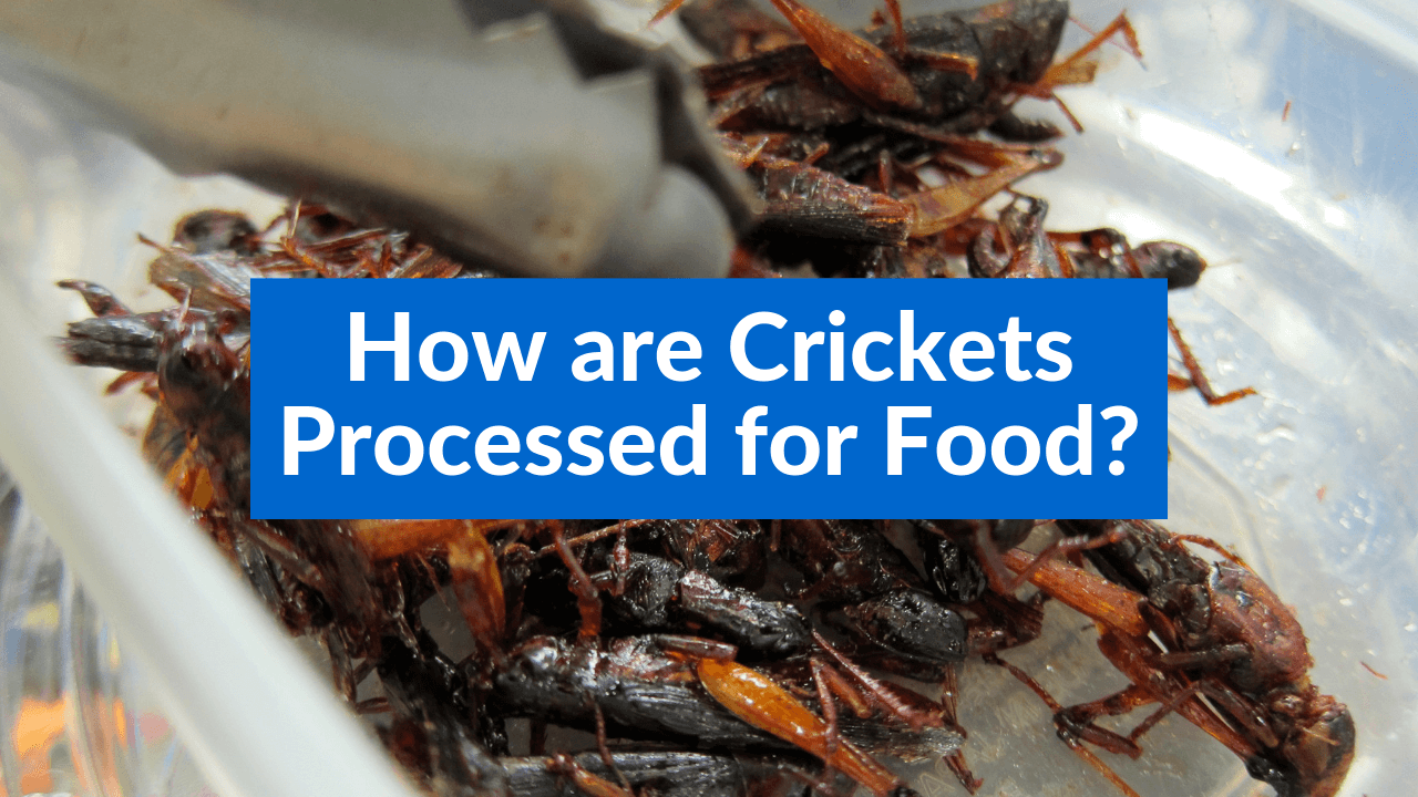 How are Crickets Processed for Food