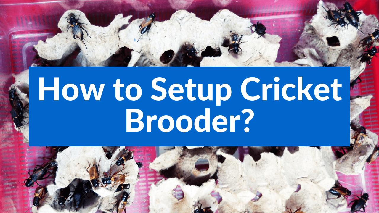 How to Setup Cricket Brooder